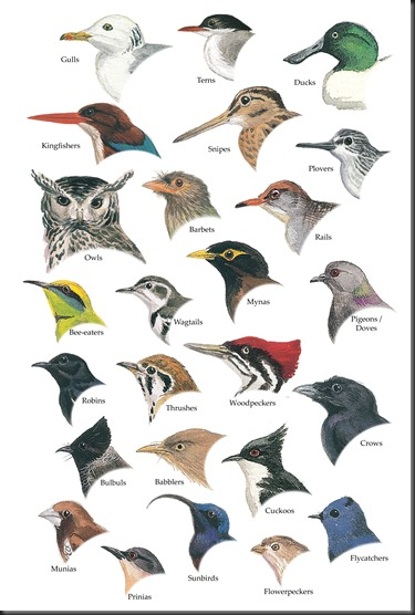 An Illustrated Guide to the Birds of Sri Lanka 26-38n-5