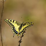 Papilio machaon LINNAEUS, 1758. Bages (Pyr. Orientales), 26 juin 2010. Photo : J.-M. Gayman