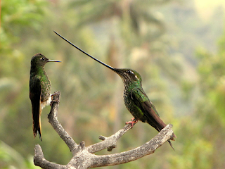 By Alejandro Bayer Tamayo from Armenia, Colombia - Ensifera ensifera (Pico de sable), CC BY-SA 2.0, https://commons.wikimedia.org/w/index.php?curid=44458411