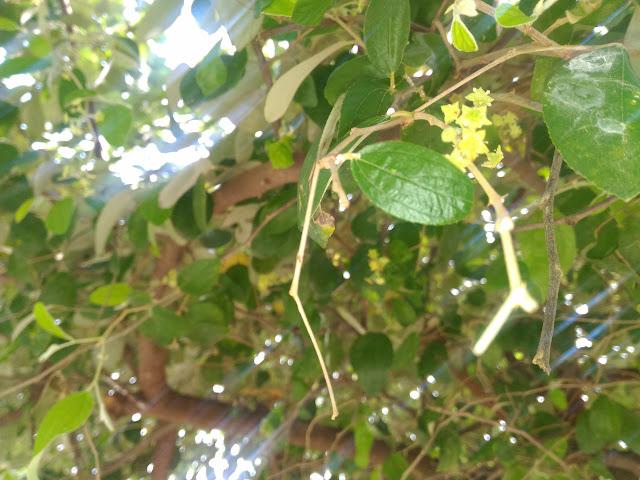 Pohon bidara yanh rindang