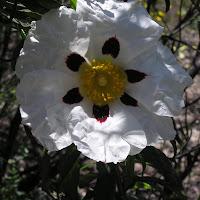 12 Cistus ladanifer. Jara pringosa. Flor de seis pétalos