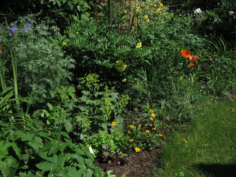 Pivoine dont j'attend la floraison depuis 2 ans IMG_6404