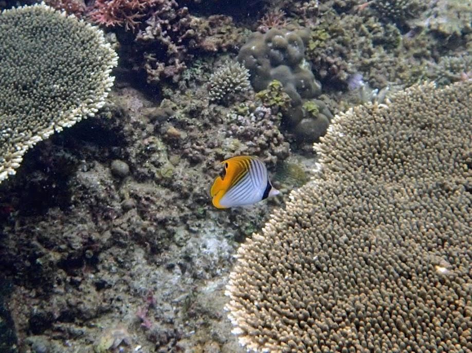 Chaetodon auriga (Auriga Butterflyfish), El Nido, Palawan, Philippines.