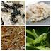 Pakan dan ekstra fooding (EF) untuk Kacer serta manfaatnya