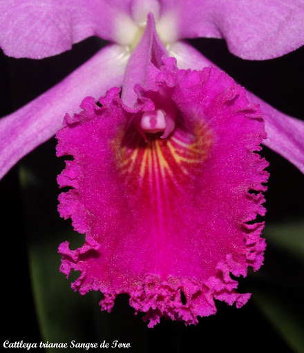 Cattleya trianae Sangre de Toro IMG_8904b%252520%252528Large%252529