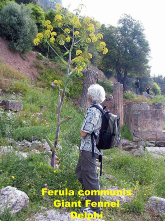 Giant fennel growing at Delphi with woman beside to compare size