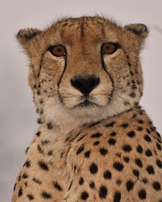 Male Cheetah, South Africa