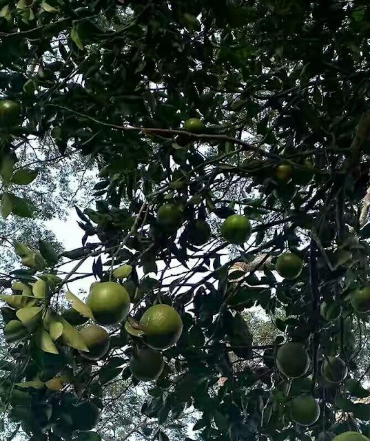 Wonders!!! Orange Tree Bears Tangerines In Osun