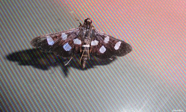 Crambidae : Desmia funebralis GUÉNÉE, 1854. Rive du Rio Teles Pires, município de Nova Canaã do Norte (Mato Grosso, Brésil), 11 juin 2011. Photo : Cidinha Rissi