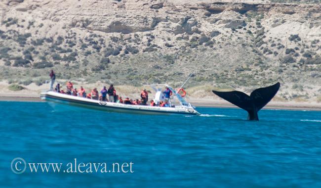Semirrigido navegando cerca de una cola de ballena