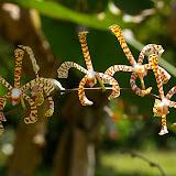 Orchidées dans le jardin des Carbets du Bord. Saül (Guyane), 2 décembre 2011. Photo : J.-M. Gayman