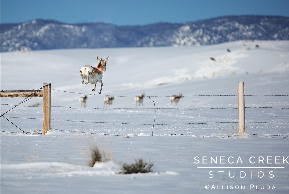 [Pronghorn-Antelope-Jumping-Over-Fence-Laramie-Valley-Wyoming-150421%5B5%5D]