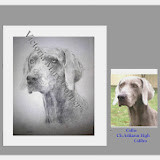 Weimaraners just wonderful Another georgeous girl has arrived here