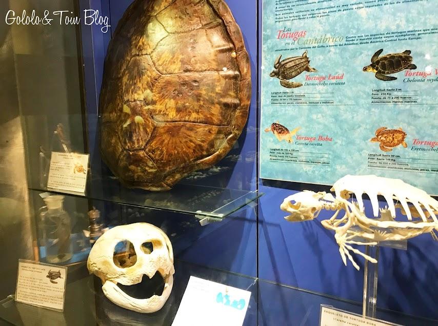 Tortuga laud en el museo marítimo de Asturias en Luanco