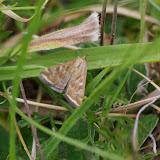 Crambidae : Pyraustinae : Pyrausta despicata (SCOPOLI, 1763). Les Hautes-Lisières (Rouvres, 28), 24 août 2012. Photo : J.-M. Gayman