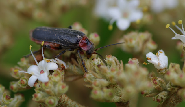 Cantharididae : Cantharis fusca L., 1758. Les Hautes-Lisières (Rouvres, 28), 22 mai 2012. Photo : J.-M. Gayman