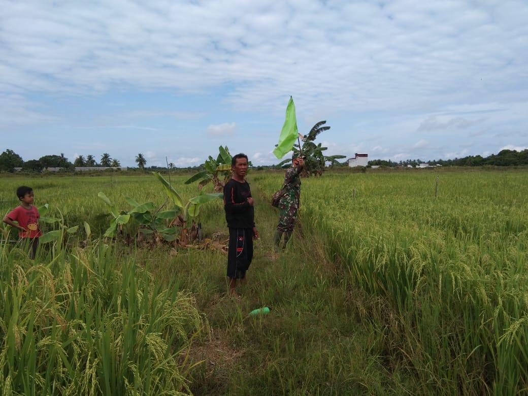 Babinsa Desa Sidorejo Datang, Hama Burung di Sawah Kabur