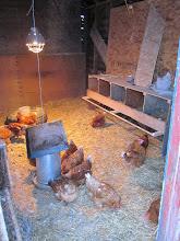 Photo: Happy chickens