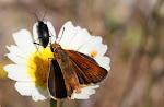 Thymelicus hyrax.2.jpg