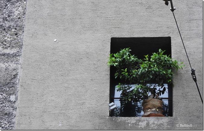 Fensterblumenstock