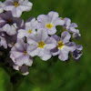Clasping Heliotrope