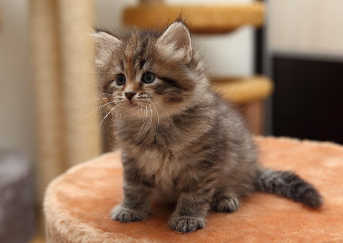 сибирских кошек и котят