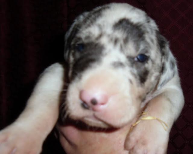 Harlequin male @ 2 1/2 weeks/available