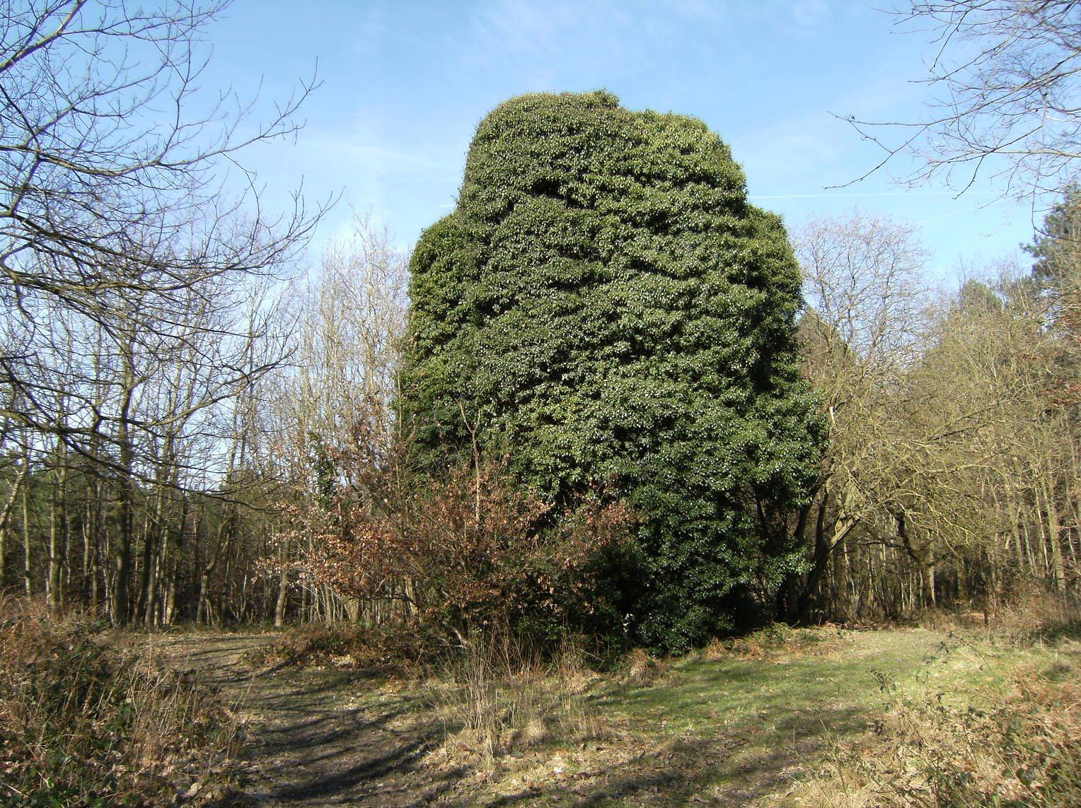 DSCF0435 Ivied folly in Tower Wood