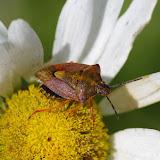 Hémiptère : Pentatomidae : Pentatoma rufipes (L., 1758). Les Hautes-Lisières (Rouvres, 28), 17 juin 2012. Photo : J.-M. Gayman