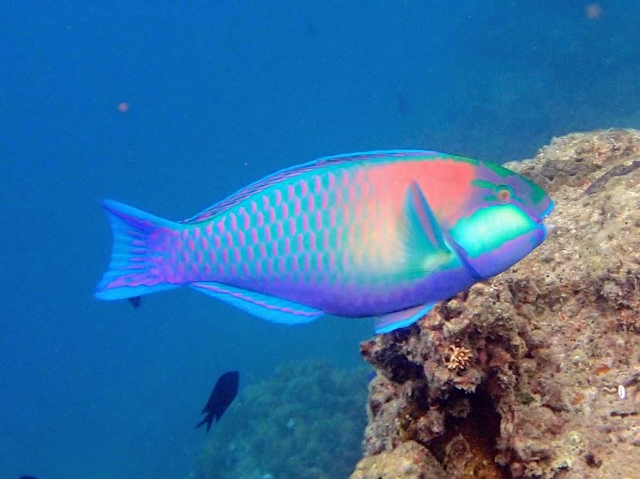 Chlorurus bleekeri (Bleekers Parrotfish), Miniloc Island Resort reef, Palawan, Philippines.