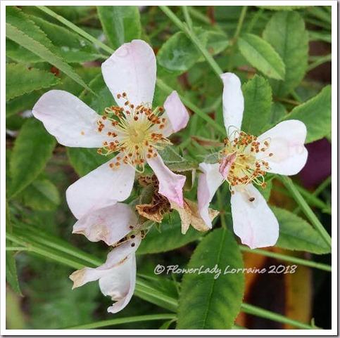 08-20-barnhouse-roses