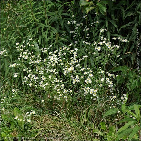 Erigeron annuus habit - Przymiotno białe pokrój