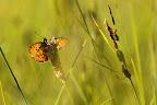 PRES HUMIDES   De nombreux papillons sont inféodés aux tourbières et aux prairies humides.