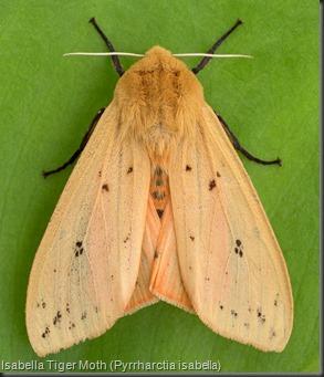 8129 Isabella Tiger Moth (Pyrrharctia isabella)