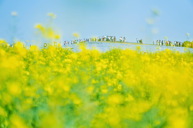 Hitachi Seaside Park rape blossoms photo4