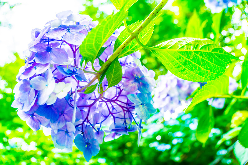 Hydrangea flowers at Takahatafudoson Kongoji Temple25