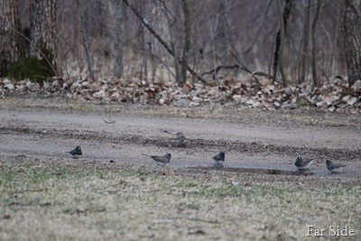 Juncos and a puddle