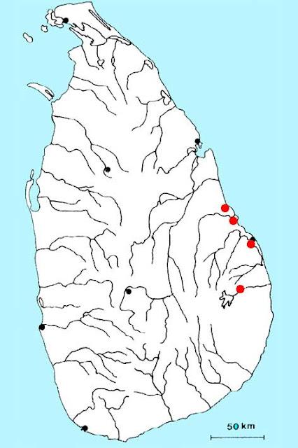 Криптокорина Невилля (Cryptocoryne nevillii)
