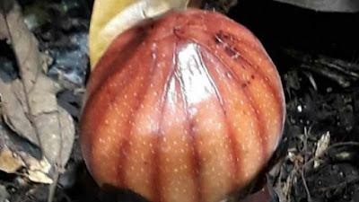 Bunga Langka Rhizanthes Lowii Ditemukan di Agam