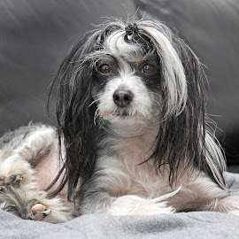 Fashionable pose by Mia Ikonen - Animals - Dogs Portraits ( relaxed, mia ikonen, expressive, chinese crested, cute, finland )