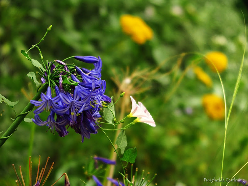 josie garden agapanthus