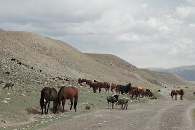 Pferde und Schafe im Balgar Tal