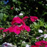 Gardening 2013 - 115_6261.JPG