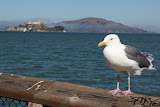Sea gull at Peer 39 and Alcatraz in the background (© 2010 Bernd Neeser)