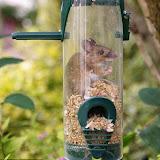 Мышь залезла в птичью кормушку, объелась и не может вылезти