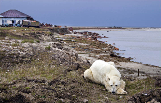 A thin polar bear lies on beach on the Siberan Arctic, because there is no sea ice to hunt on. Photo: Sergey Anisimov / The Siberian Times