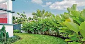 Jual Pohon Pisang Kalatea,Jual Tanaman Hias Pisang Kalatea,Pohon Pisang Kalatea Murah