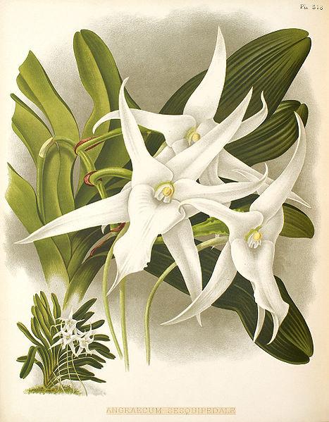 Растения из Тюмени. Краткий обзор 467px-Sesquipedale