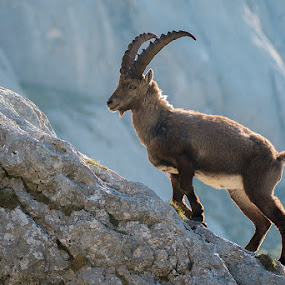 On the ridge by Blaž Ocvirk - Animals Other Mammals ( capra ibex ibex, capricorn )