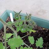 Gardening 2011 - 100_7041.JPG